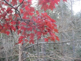 It's not often we see fall colors in Florida, but when we do, they're worth the wait!  Taken by Marcia Lane
