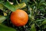 220px-TangerineFruit
