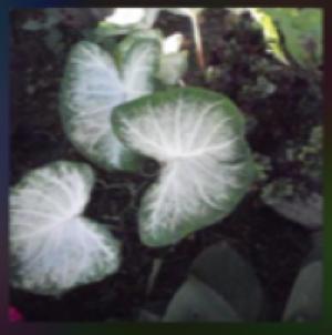 white aaron